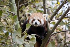 Röd panda på trädet Fotografering för Bildbyråer