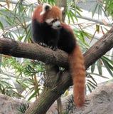 Röd panda som omkring ser Arkivfoto