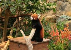 Röd panda som står upp på en ask royaltyfri bild