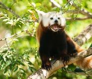 Röd Panda Wild Animal Panting Stands trädlem Arkivbild