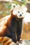 Röd Panda Wild Animal Panting Stands trädlem Royaltyfri Bild