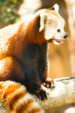 Röd Panda Wild Animal Resting Sitting trädlem Arkivfoto