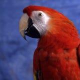 Röd papegoja Royaltyfria Bilder