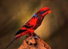 Röd papegoja Royaltyfri Bild