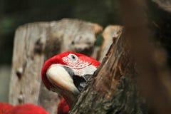 Röd papegoja Arkivbilder