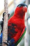 Röd papegoja arkivfoton
