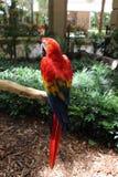 Röd papegoja, djungelö, Miami, Florida Arkivbild