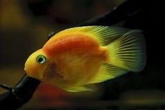 Röd papegoja för fisk Arkivbilder