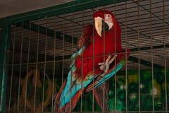 Röd papegoja i en bur Royaltyfria Bilder