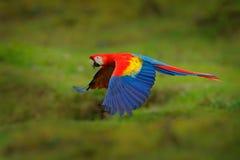 Röd papegoja i flyg för skogarapapegoja i mörker - grön vegetation Scharlakansröd ara, munkhättor Macao, i tropisk skog, Costa Ri arkivfoton