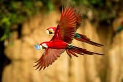 Röd papegoja i flykten Araflyg, grön vegetation i bakgrund Röd och grön ara i tropisk skog arkivfoton