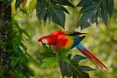 Röd papegoja i grön vegetation Scharlakansröd ara, munkhättor Macao, i mörker - grön tropisk skog, Costa Rica, djurlivplats från  Arkivfoto