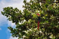 Röd papegoja i Osa Peninsula, Costa Rica Arkivfoton