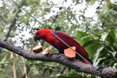 Röd papegoja på filial Arkivfoto