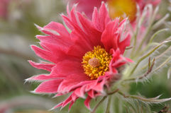 Röd pasqueflower Fotografering för Bildbyråer