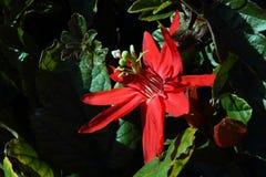 Röd passionblomma Fotografering för Bildbyråer