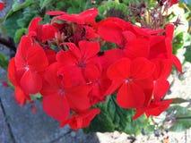 Röd pelargon Arkivfoto