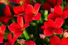 Röd pelargon Royaltyfri Foto