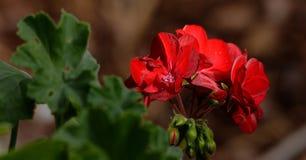 Röd pelargon Royaltyfria Foton