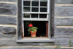 Röd pelargon i öppet fönster Royaltyfri Bild