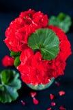 Röd pelargon i svart Fotografering för Bildbyråer