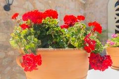 Röd pelargonblomma Fotografering för Bildbyråer