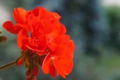 Röd pelargonia Arkivbilder