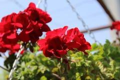 Röd pelargonia Royaltyfria Bilder