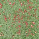 Röd penda eller karmosinröd penda- eller xanthostemonyoungii som är stupade på golv för grönt gräs Arkivfoton