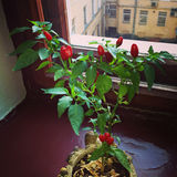 Röd peppar på fönsterfönsterbrädan Arkivbilder
