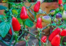 Röd peppar som mognar på filialerna i stadsbotaniska trädgården royaltyfri fotografi