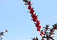 Röd persikablomma på en filial Royaltyfri Fotografi