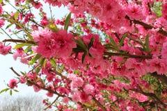 Röd persikablomma på en liten branchr Royaltyfri Foto