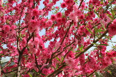 Röd persikablomma på en liten filial Royaltyfri Bild