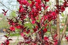 Röd persikablomma på ett litet träd Arkivfoton