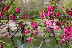 Röd persikablomma på ett litet träd nära en flod Royaltyfri Bild