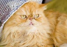 Röd persisk katt med hatten Arkivbilder