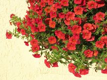 Röd petunia arkivbilder