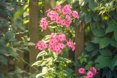 Röd petunia i ljuset av solen Royaltyfria Foton