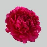 Röd pion Royaltyfri Foto