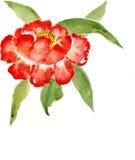 Röd pion Arkivbild