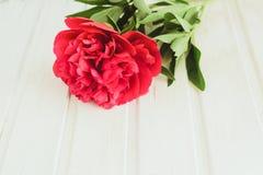 Röd pion för bästa sikt på vit träbakgrund med copyspace Arkivfoton