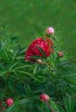 Röd pion i sommarträdgården Fotografering för Bildbyråer