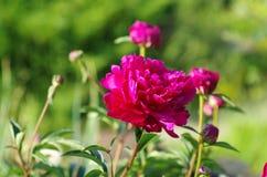 Röd pionblomma Royaltyfria Bilder