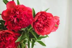 Röd pionbukett på en vit bakgrund Royaltyfria Foton