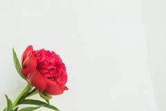 röd pionknopp på en vit bakgrund med copyspace Royaltyfria Foton