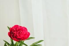 röd pionknopp på en vit bakgrund med copyspace Royaltyfri Bild