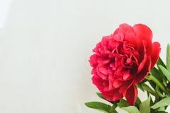 röd pionknopp på en vit bakgrund med copyspace Fotografering för Bildbyråer