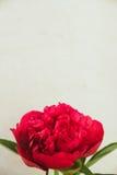 röd pionknopp på en vit bakgrund med copyspace Royaltyfri Fotografi