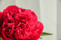 röd pionknopp på en vit bakgrund med copyspace Royaltyfri Foto